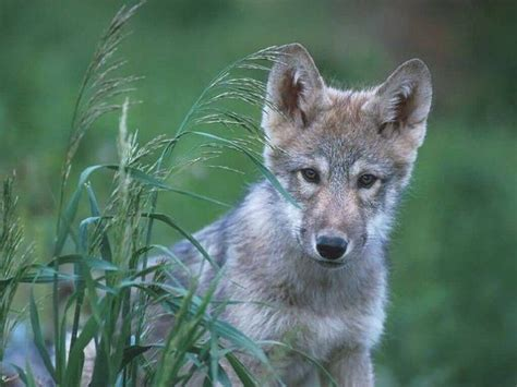 wolf breeds list bush removes wolves from endangered species list again treehugger