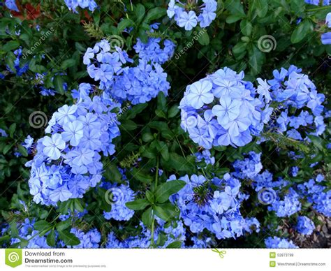 evergreen shrub blue flowers plumbago auriculata cape plumbago stock photo image