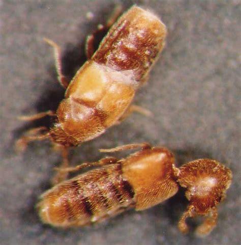 bug acis staphy128