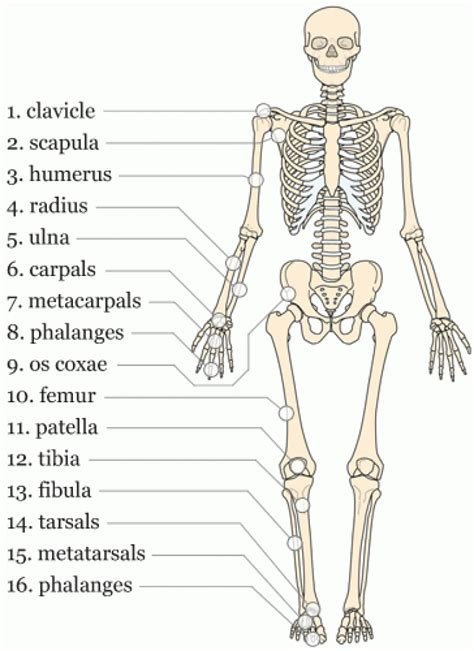 Exelent Anatomy And Physiology Quizlet Chapter 6 Gallery - Anatomy ...