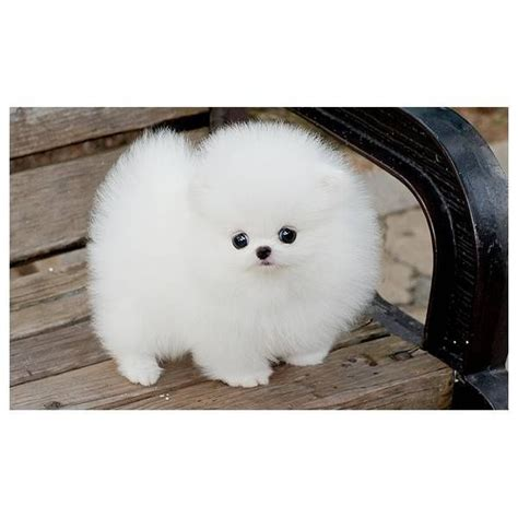 pomeranian puppies white 17 best ideas about white pomeranian on teacup dogs pomeranians and