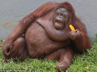 thai panda: orangutan! sweet tooth bendot beats the heat