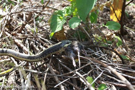 Garter Snake Eat Mice Garter Snake Thamnophis Atratus A Rat In Big Sur
