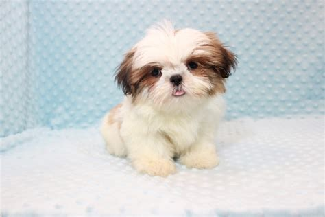 shih tzu teacups teacup shih tzu puppies www pixshark images galleries with a bite