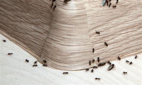 comment se d饕arrasser des fourmis dans une cuisine voici comment se d 233 barrasser des fourmis dans la maison en