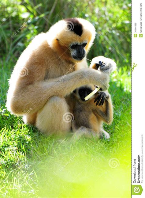baby monkey feeding time gibbon monkey feeding baby stock image image of cheek