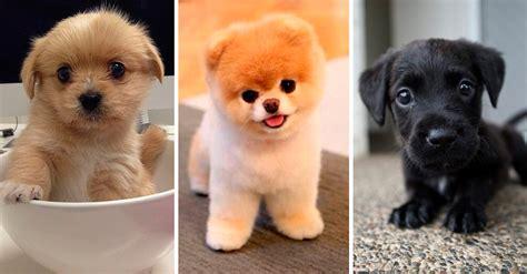 imagenes de animales pequeños 26 perros peque 241 os en tama 241 o 161 pero grandes en ternura