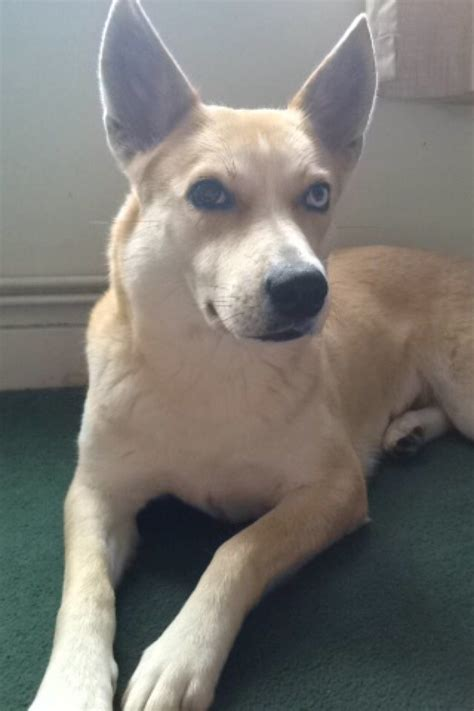 husky lab mix puppies for sale husky x labrador for sale south east pets4homes