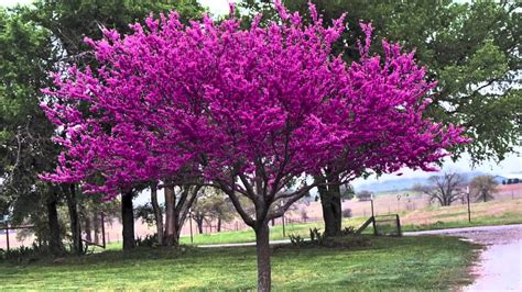 redbud tree redbud trees for sale youtube
