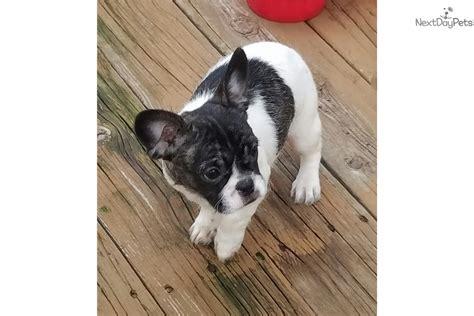 shih tzu puppies southern illinois bulldog puppy for sale near southern illinois illinois 36b8b497 4181