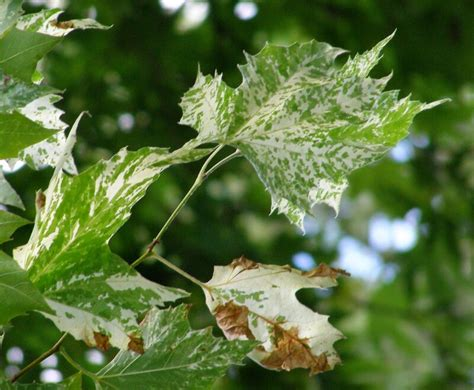 Platanus x acerifolia 'Suttneri', variegated London plane