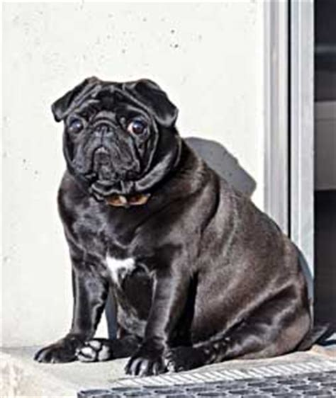 pug diet requirements nutrition