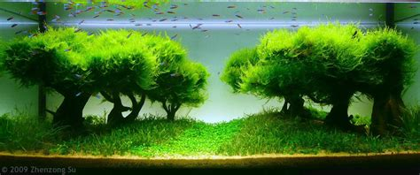 java moss aquascape java moss and creating trees