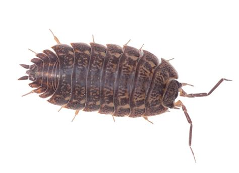 how many legs do bed bugs have most common house bugs gallery