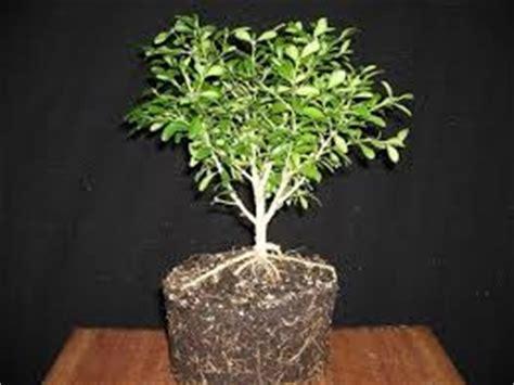 perangsang akar bonsai merawatbungacom
