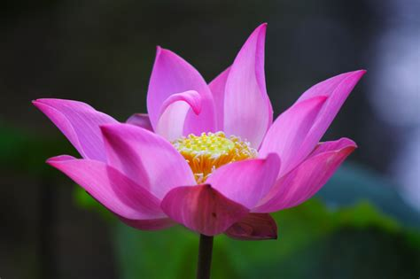 new year lotus flower free lotus flower stock photo freeimages