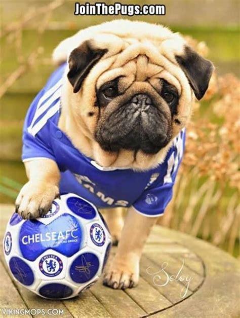 pug soccer soccer pug pugs and kisses