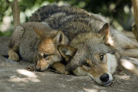 möbel wolf ma des loups