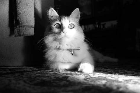 monochrome animals cat monochrome photography animals wallpapers hd