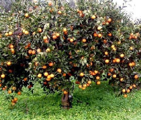 fior d arancio pianta arancio concimi e biostimolanti per gli agrumi ilsa s p a