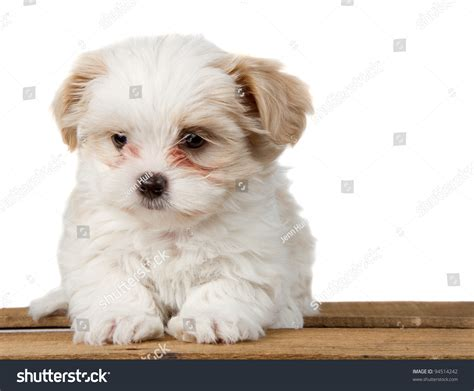 sad shih tzu puppy small white shihtzu puppy sitting on stock photo 94514242