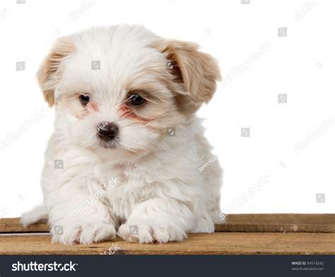 and white shih tzu puppies small white shihtzu puppy sitting on stock photo 94514242