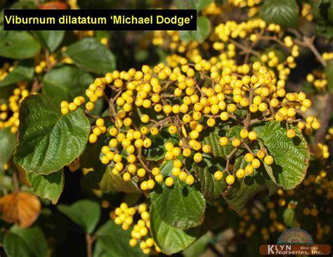 michael dodge viburnum dilatatum michael dodge klyn nurseries inc