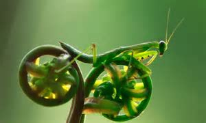 Amazing nature: Like a mantis needs a bicycle? Incredible