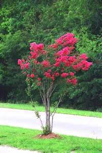 crape myrtle colors pin by mitzie blakeney on crape crepe myrtles