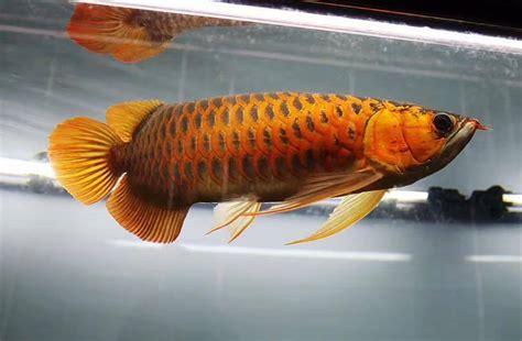 Bibit Ikan Hias Arwana arwana ikan hias air tawar binatang peliharaan