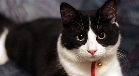 imagenes en blanco y negro gatitos gatos bebes blancos con manchas