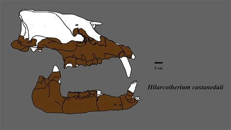 what does no section 8 mean hilarcotherium wikipedia