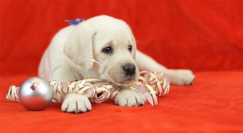 a labrador puppy for christmas the labrador site