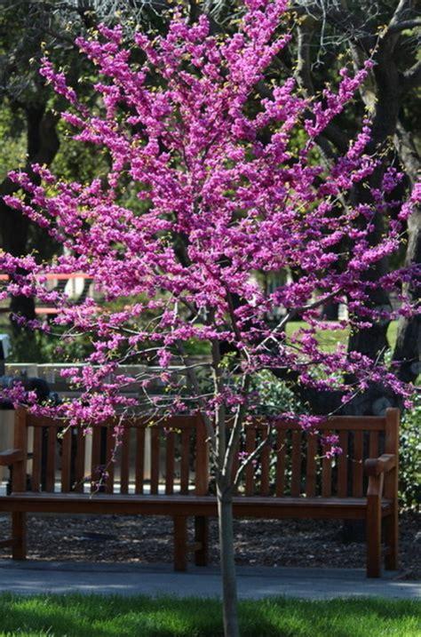 practical spring flowering trees redbud has glorious
