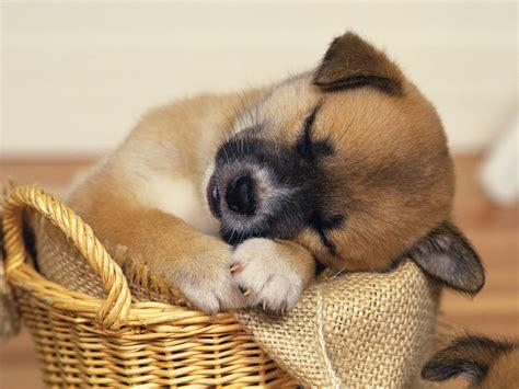 sleepy puppies sleepy puppies wallpaper 9415133 fanpop