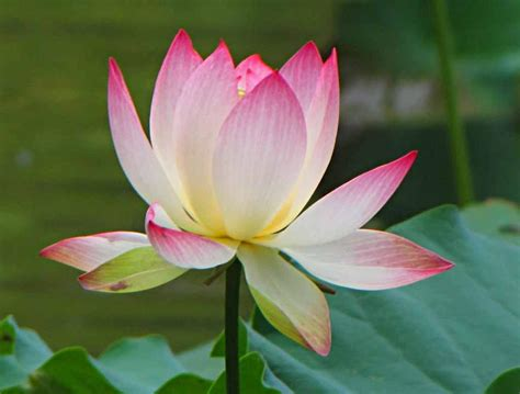 lotus flower side view www pixshark com images