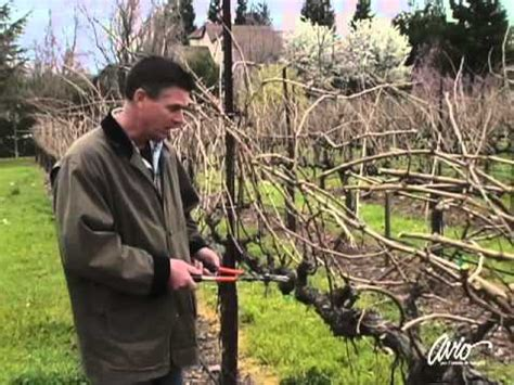 how to prune a grape vine youtube