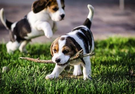 find puppies in your area best 25 beagle puppies ideas on beagle puppy pocket beagle puppies and