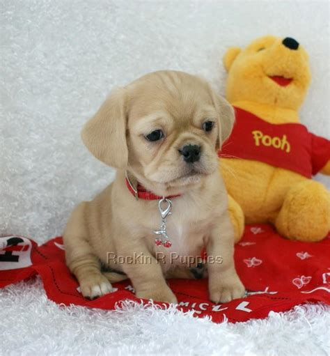 peagle puppies peagle puppies www pixshark images galleries with a bite