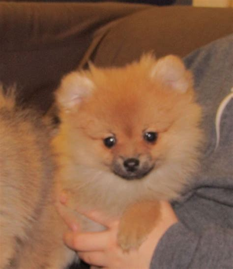 pomeranian puppies for sale uk adorable pomeranian puppies for sale matlock derbyshire pets4homes