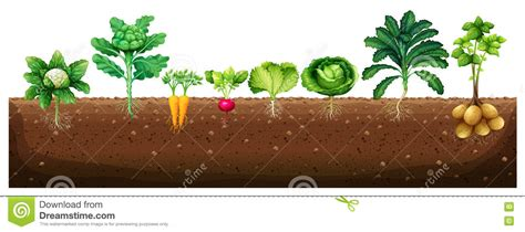 vegetables underground vegetables clipart underground pencil and in color