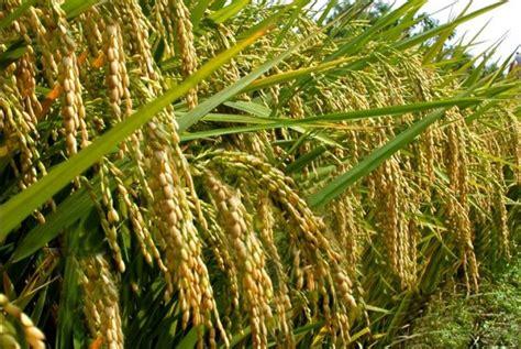 Membuat Zpt Untuk Padi | cara membuat nutrisi untuk menjadikan padi agar lebih