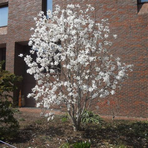 Magnolia stellata ?Royal Star? Gasper Landscape Design