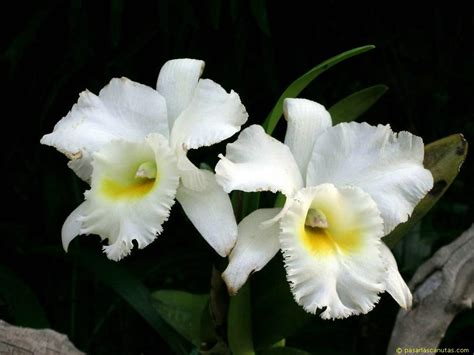 imagenes flores orquideas fotos de flores orquideas pagina 2
