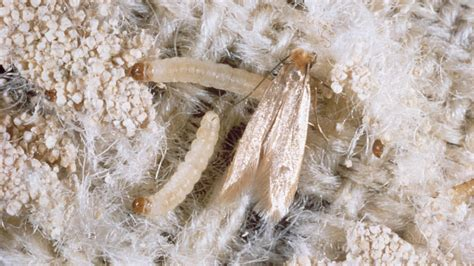 moths in rugs what are clothes moths and how to identify them pest