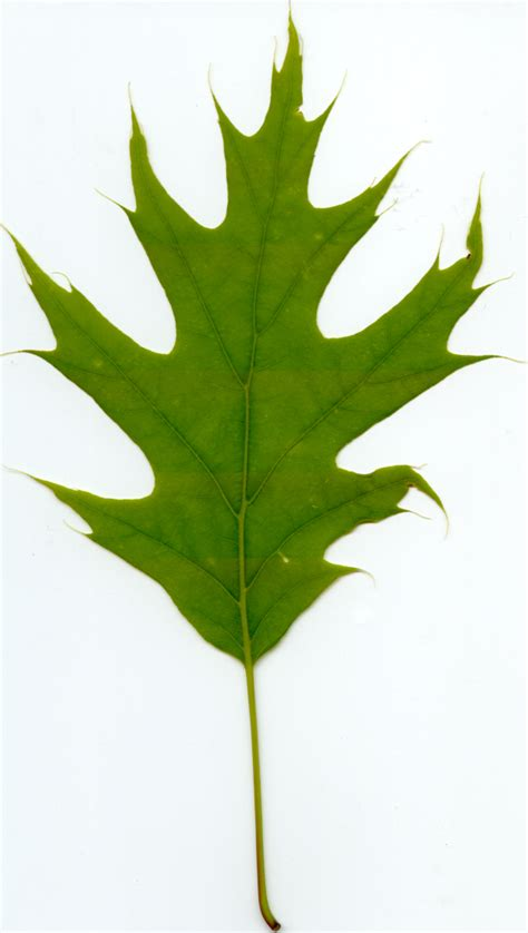 Black Oak Todd S Leaf Notebook Black White Oak Leaf