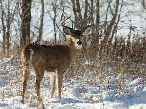 Deer Vs differences between mule deer and whitetail deer huntin