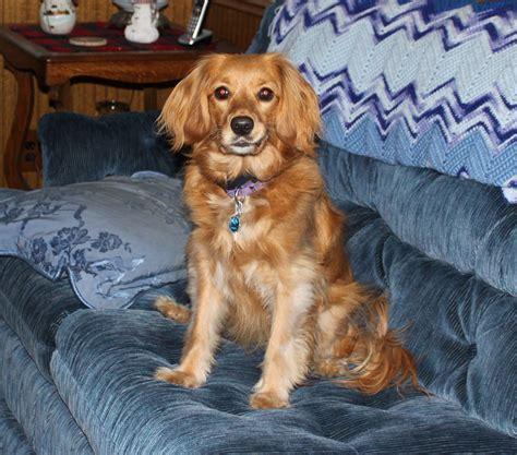 miniature golden retriever for sale golden retriever puppies 2013 mini calendar calendars at allposters breeds picture