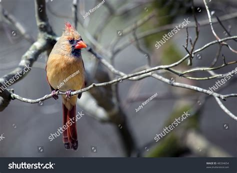beautiful northern cardinal sitting in bare dogwood tree beautiful northern cardinal sitting on bare dogwood tree limb stock photo 48334654
