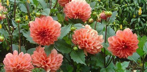 mengenal tanaman hias bunga dahlia daftar tanaman hias
